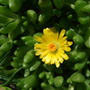 Succulent_flower