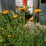 Anthemis_sancti_johannis_and_kniphofia_caulescens_