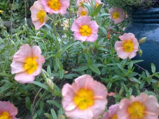 Helianthemum   Rock Rose