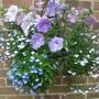 Petunia and Lobelia basket (Petunia single)