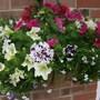 Petunia and Lobelia basket from the front (Petunia single)