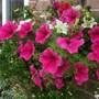 Petunia and Lobelia basket from the side (Petunia single)