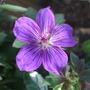 Geranium wlassovianum 'Lakwijk Star' (Geranium wlassovianum)