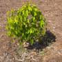 Ficus benjamina 'nuda' or Ficus nuda