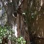 Ficus thonningii - Wild Fig Trunk (Ficus thonningii - Wild Fig)