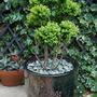 Cloud Pruning in new pot... (cloud pruning.)