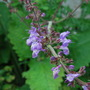 Salvia......I believe this to be forsskaolii..... (Salvia forsskaolii)