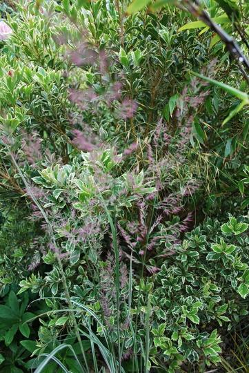 Calamagrotis acutiflora Overdam. (Calamagrostis acutiflora Overdam)