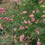 Sanguisorba tenuifolia (Sanguisorba tenuifolia)