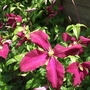 Clematis viticella mme julia correvon over 12 years old I cut it to the ground last summer. (Clematis viticella (Viticella Group clematis))