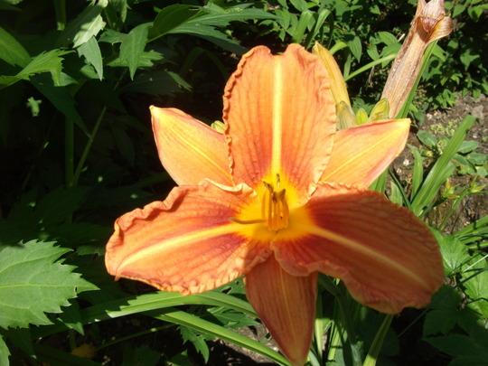 Daylily Tawny daylily Hemerocallis fulva reaches 3ft  (Hemerocallis Fulva flore pleno)