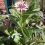 Centauria, first bloom (Centaurea montana (mountain bluet))