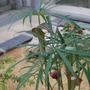 Arisaema ciliatum (Arisaema ciliatum)