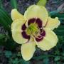 """Hemerocallis - """"Calico Jack"""" (Hemerocallis)"""