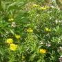 Buphthalmum salicifolium (Buphthalmum salicifolium (Buphthalmum a feuilles de saule))