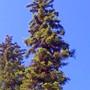 big black spruce