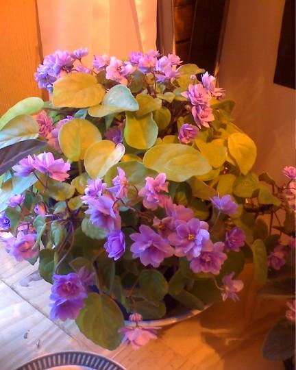 About full blooming  (Saintpaulia ionantha)