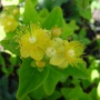 Hypericum  'Magical White'   Dwarf Evergreen Shrub (Hypericum inodorum)