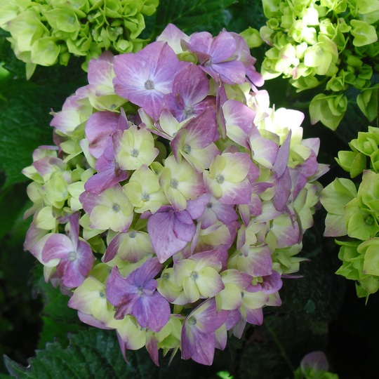 Hydrangea coming into bloom