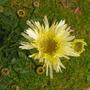 Leucanthemum_goldrush_