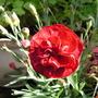 Dianthus_passion_