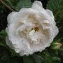 Bonnie Prince Charlie's rose