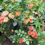 Patio Rose Rainbow Magic
