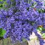 I think this Lavender is Hidcote