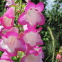 A lovely Penstemon that just survived the frosty winterIMG 1668