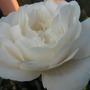Rose white cloud (my mums)