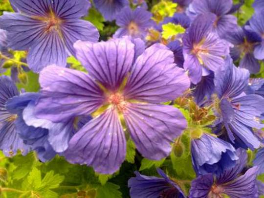 "Closeup    Geranium   "" Johnson Blue"""