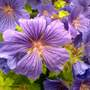 """Closeup    Geranium   """" Johnson Blue"""""""