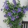 Clematis Lilacina Floribunda