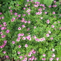 Hardy geranium  - Warwickshire Pink?