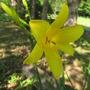 The first lemon yellow daylily