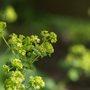 Alchemilla flowers (Alchemilla mollis)