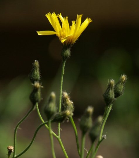 Spotted hawkweed (Hieracium)