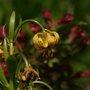 Turk's cap lily (Lilium)
