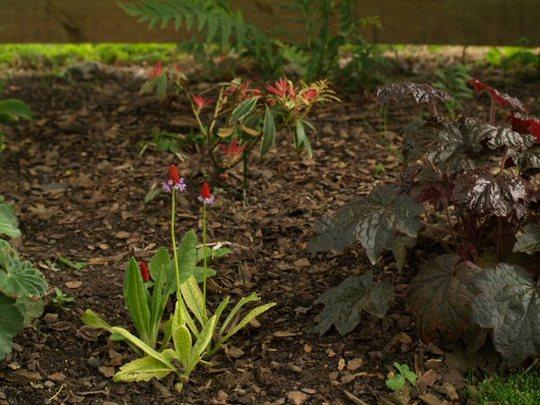 Woodland planting (Primula vialii, Heuchera, Pieris, Alchemilla etc)