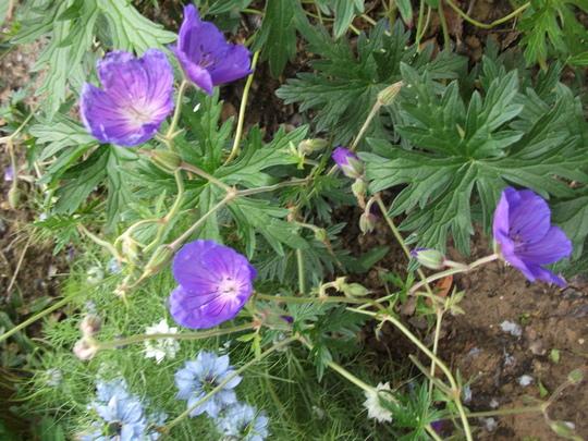Geranium Johnson's Blue (Geranium 'Johnsons blue')