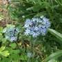 Allium Blue Drumstick (Allium Caeruleum Blue Drumstick)