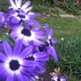 Senecio cineraria (Senecio) sunsenebapiba