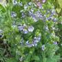 Polemonium Jacob's ladder viscosum 'blue whirl' (Polemonium caeruleum (Jacob's ladder))