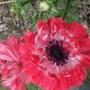 Anemone St Brigid still flowering. (Anemone St Brigid)