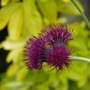 Cirsium Rivulare Atropurpureum in front of Choisya Ternata &#x27;Sundance&#x27;  (Cirsium rivulare (Plume thistle))