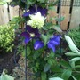 Clematis_peppermint_and_the_vagabond_in_border
