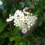 Pyracantha_golden_charmer_bloom