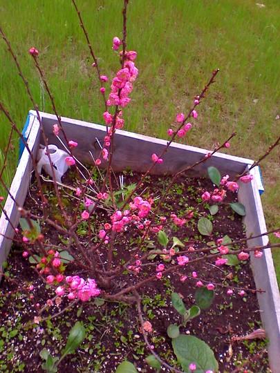 double plum blooms