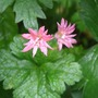 Geranium_southcombe_double_