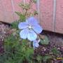 geranium Mrs Kendle clarke